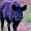 Hawaiian Boar