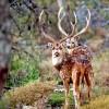 Trophy Axis Deer Bucks