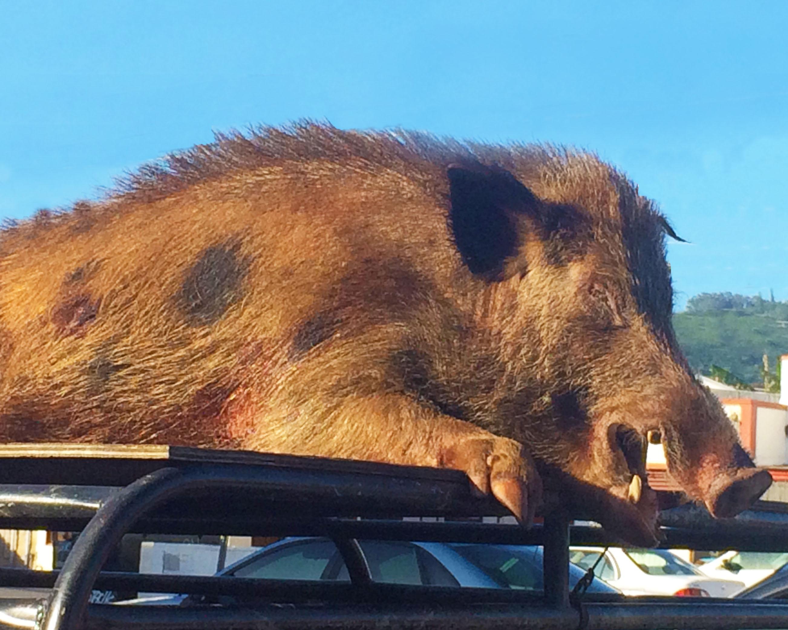 Hawaii Boar Hunting